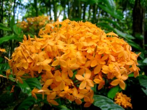 Bông Trang cam